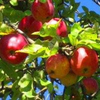 Осенние яблоки. :: Любовь