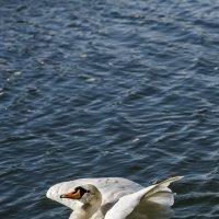 Лебедь :: Алексей Caveman
