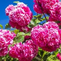Дачные цветы :: Вадим Бро