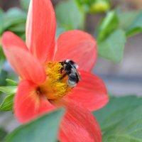 Цветок Плчела :: Ирина Сафонова