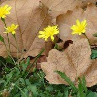 Первые осенние листья. :: Olga Grushko