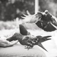 голуби :: евгений настепанин
