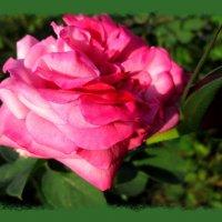 Вечерняя роза с бутоном... :: Тамара (st.tamara)