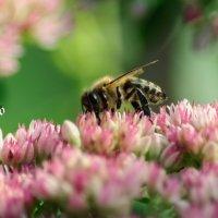 Пчелка :: Lasc1vo Артёмин