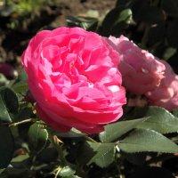 Осенняя роза. :: Жанна Мааита