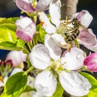 пчела на цветке :: Дмитрий Потапкин