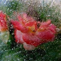 Розы. :: Виктория Чурилова