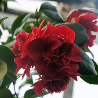 Цветок бесстрастия   и Маргариты Готье  — КАМЕЛИЯ :: Елена Павлова (Смолова)
