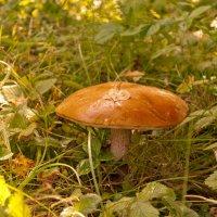 Гриб в моем саду :: Юрий Арасланов