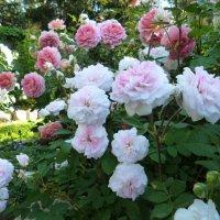 розы Остина :: lenrouz