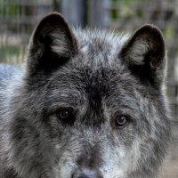 черный волк :: Eugene Simachev