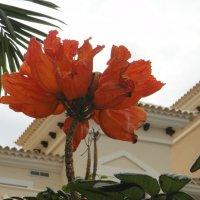 Спатодея-тюльпанное дерево :: Елена Павлова (Смолова)
