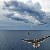 Чайка сизокрылая :: Александр Бойко