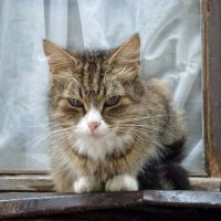 Выборгская кошка :: Наталья (Nattina) ...