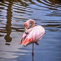 фламинго :: Slava Hamamoto