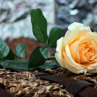 роза :: Tatyana Belova