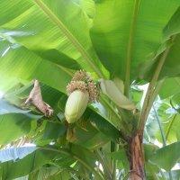 Цветок банановой пальмы. :: Ольга Языкова
