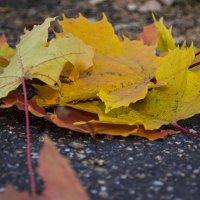 кленовые листья :: Дмитрий Грошев