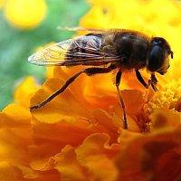 Пчелка :: Пётр П