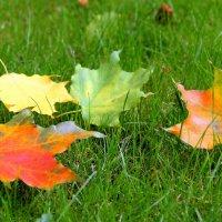 Листья клёна лежат на траве.... :: Маргарита ( Марта ) Дрожжина