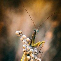 Богомол :: сергей агаев