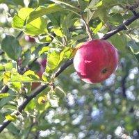 Яблоко из моего сада. :: Екатерина Рябинина