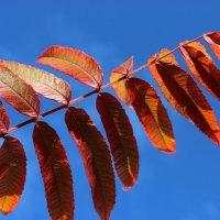 Осенний лист кружит багрово-красный, :: Mariya laimite