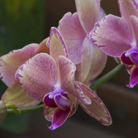 Мои любимые орхидеи :: marmorozov Морозова