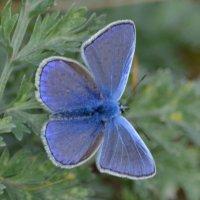Бабочка-голубянка присела на цветок. Затаив дыхание, наклоняюсь ближе. :: Таня Фиалка