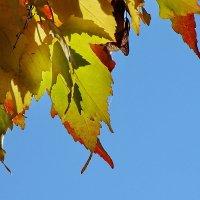 Листья осенние. Клён :: Виктор Четошников
