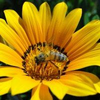 Пчела на гацании. :: Елена Шемякина