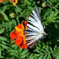 Бабочка :: Ольга Голубева