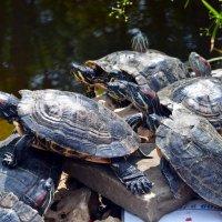Любопытные черепахи :: Ольга Голубева