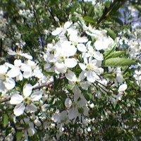 Цветущее дерево :: Миша Любчик