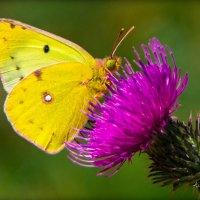 Красавица в желтом наряде :: Алиса Терновая