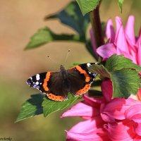 Октябрьская бабочка :: Виктор Марченко