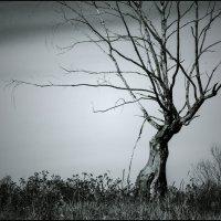 сухое дерево :: Анна Шелест