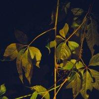 Виноградные листья :: Виктория Сокур