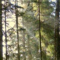 Дождь в тебердинском лесу. :: Игорь