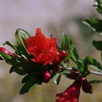 Цветок граната :: Andrad59 -----