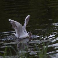 Чайка :: Олеся Просина
