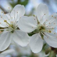 Цветы :: Андрей Громыко