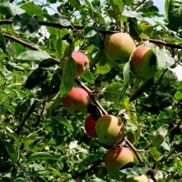 Монастырские яблоки :: Владимир Бровко