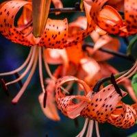 Цветы :: Елизавета Петрова