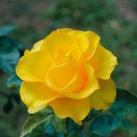 Роза.... :: Mihail Chiriac