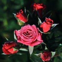 Розы :: Viktor Eremenko
