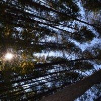 Сосновый лес :: Иван Иванович