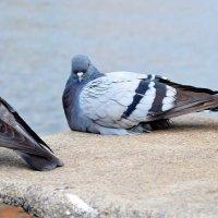 Просто голуби :: Ростислав