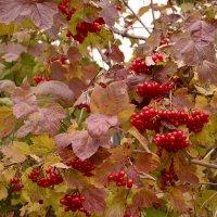 У калины цвет осени... :: galina tihonova
