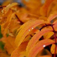 Капли дождя :: Елена Лазарева